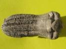 Encrinus liliiformis