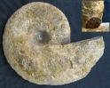 Ceratites dorsoplanus