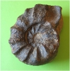 Ceratites praenodosus