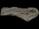 Pteronisculus macropterusWhite, 1933