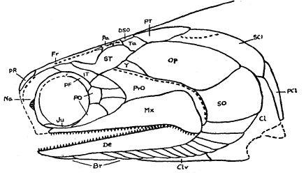 Pteronisculus Kopf