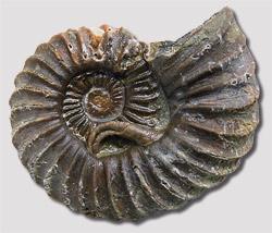 Schlangensterne Placodus DER STEINKERN 23: Haizähne aus Mill Trilobiten